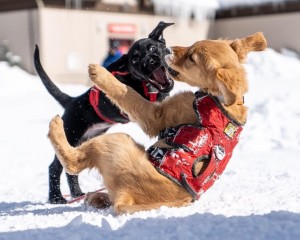 Avalanche puppies wrestling