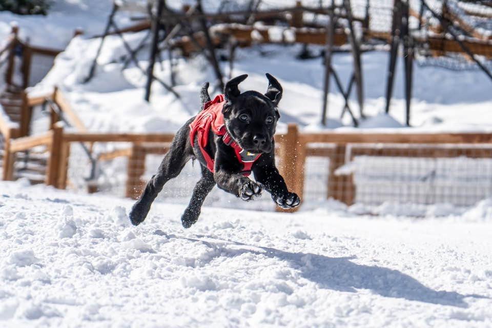 Black lab puppy bounding through snow