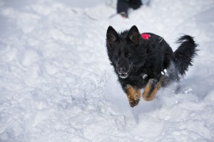 German shepherd avalanche dog running through snow