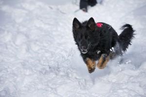 German shepherd avalanche dog running through snow