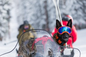 Avalanche dog with goggles on a snowmobile