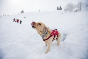Avalanche dog taking a break from digging in the snow