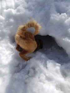 Avalanche puppy digging in snow hole